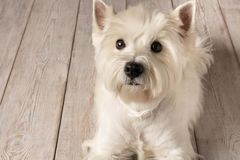 Västra högland vita Terrier som ligger på ett trägolv close upp royaltyfri bild