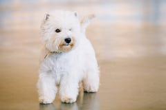 Västra högland vita Terrier, Westy, hund royaltyfri foto