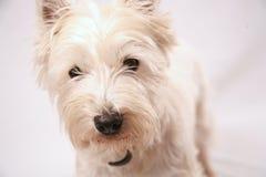 västra höglands- terrier Arkivfoto