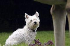 Västra höglands- Terrier Royaltyfria Bilder