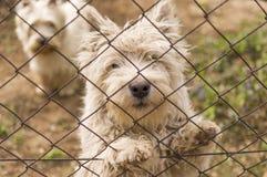 Västra höglands- Terrier hundkapplöpning. Royaltyfria Foton