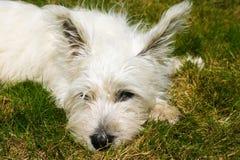 Västra höglands- Terrier valp Arkivfoto