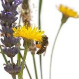 Västra honungbi eller europeiskt honungbi, Apismellifera, bärande pollen arkivbild