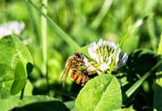 Västra honungbi på en blomma - apismellifera, apidae, Hymenoptera, insecta arkivfoton