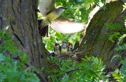 västra kingbird Arkivfoto