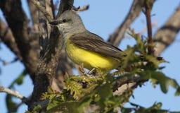 västra kingbird Royaltyfri Fotografi