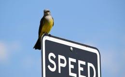Västra Kingbird i Colorado Arkivbilder