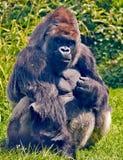 Västra lågland Gorilla Harry Arkivfoton