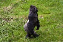 Västra lowlandgorilla (gorillagorillagorillan) Royaltyfri Bild