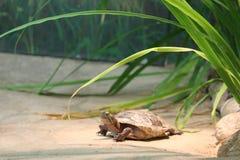 Västra målad sköldpadda som vilar OCH VÄRMA SIG PÅ EN PLATTFORM I FÅNGENSKAP royaltyfri fotografi