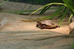 Västra målad sköldpadda som vilar OCH VÄRMA SIG PÅ EN PLATTFORM I FÅNGENSKAP arkivfoton