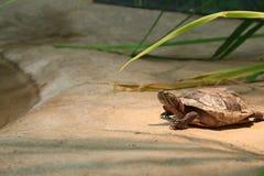 Västra målad sköldpadda som vilar OCH VÄRMA SIG PÅ EN PLATTFORM I FÅNGENSKAP royaltyfri bild