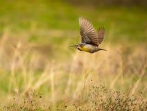 Västra Meadowlark i flykten med avsiktlig Wingtipsuddighet arkivfoton