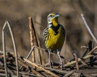 Västra Meadowlark, Sacramento nationell djurlivfristad Royaltyfri Bild