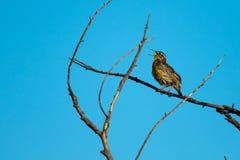 V?stra Meadowlark som sjunger hans hj?rta ut p? en v?rdag p? den Sacramento djurlivfristaden royaltyfria foton