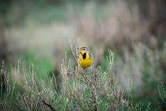 Västra Meadowlark (Sturnellaneglectaen) fotografering för bildbyråer
