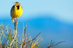 Västra Meadowlark In Sunlight Fotografering för Bildbyråer