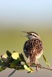västra meadowlarkneglectasturnella fotografering för bildbyråer