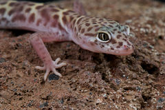 västra satt band gecko royaltyfri bild