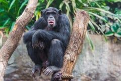 Västra schimpans Arkivfoto