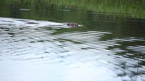 Västra Siberian för bäverflod lager videofilmer