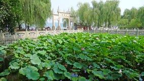 Västra sjö med lotusblomma i sommar Royaltyfri Fotografi