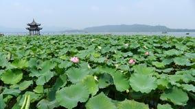 Västra sjö med lotusblomma i sommar Royaltyfria Foton