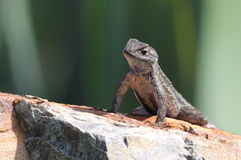Västra staket Lizard på en vagga royaltyfria bilder