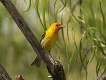 västra tanager Royaltyfri Bild