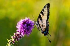 Västra Tiger Swallowtail på blomman royaltyfri fotografi