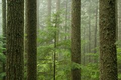 västra tsuga för skoghemlockheterophylla royaltyfria bilder