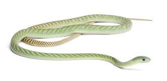 västra viridis för grön mamba för dendroaspis Royaltyfri Fotografi