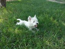 västra white för höglands- terrier royaltyfria foton