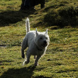 västra white för höglands- terrier Arkivbilder