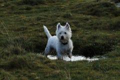 västra white för höglands- terrier Royaltyfri Foto