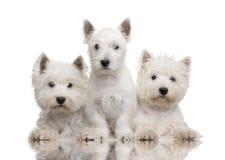 västra white för höglands- terrier Arkivfoton