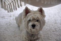 västra white för höglands- terrier Royaltyfria Bilder