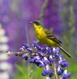 västra yellow för wagtail Royaltyfri Foto