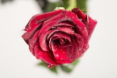 Vät rose Arkivfoto