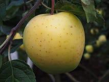 Vätskeäpplen på trädet I höst en rik skörd av äpplen i trädgården detaljer royaltyfri bild