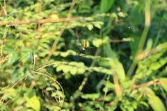 Vävare för orb för svarta och gula kulöra läskiga Nephila pilipes nordlig guld- eller jätte- guld- orbvävare Spider arkivbild