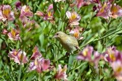 Vävaresammanträde på en Priceess lilja Royaltyfria Foton