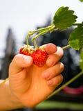 Väx dina egna jordgubbar Arkivfoto