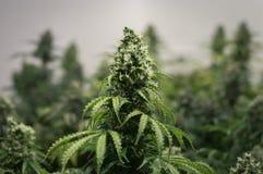 Växa av cannabisblomman Royaltyfria Foton