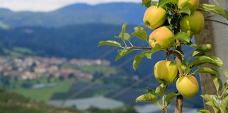 växa för äpple arkivfoto