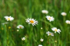 Växa för blommor för lös kamomill i grönt gräs, abstrakt blom- naturlig ekologibakgrund Royaltyfri Foto