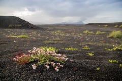 Växa för blommor på askafältet i Island Arkivbild