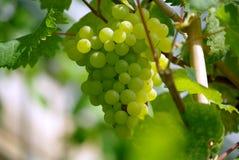 växa för druvor Arkivfoto