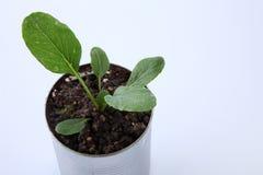 Växa för grönsak Arkivbilder