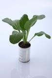 Växa för grönsak Arkivbild
